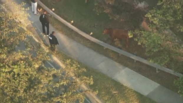[NATL-V-MI] Cow and Bull on the Loose in Doral