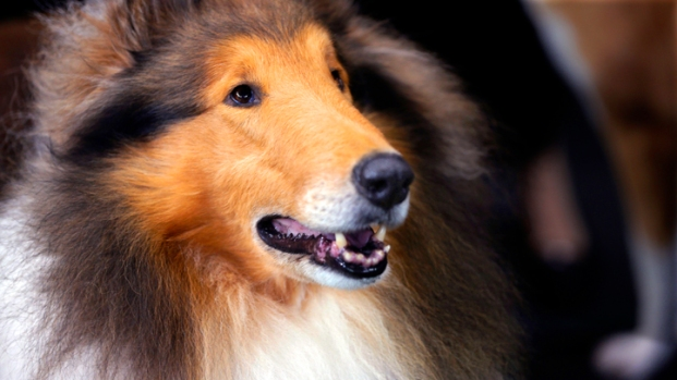 [AP] Raw Video: Adorable Westminster Dogs