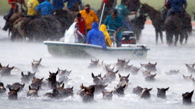 Wild Ponies Make Their Annual Swim to Chincoteague