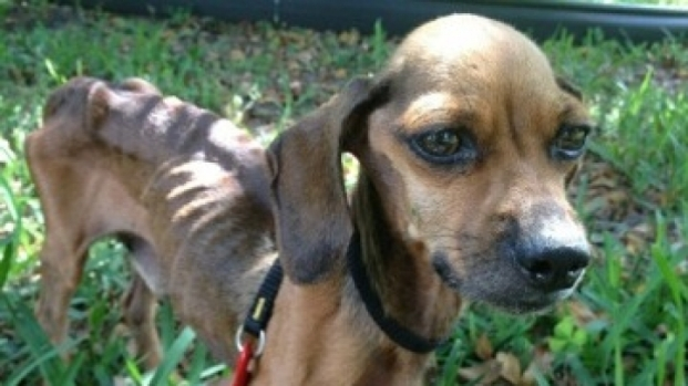 "[MI] Emaciated Dog Found in Pembroke Pines Smelled Like ""Death"""
