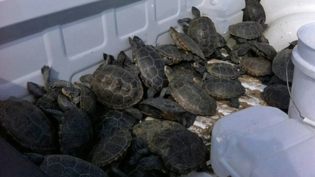 Turtles Invade JFK Runway
