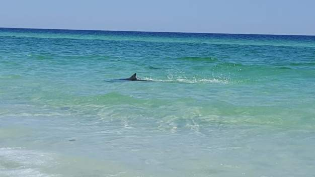 Sharks Thrash Close To Shore At Florida Beach