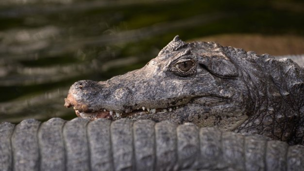 Gator Found Eating Corpse in Southwest Ranches