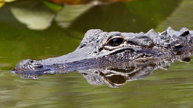 Knock, Knock: No Joke, an Alligator's at the Front Door