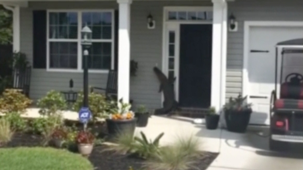 Lost Alligator Tries to Ring Doorbell at SC Home