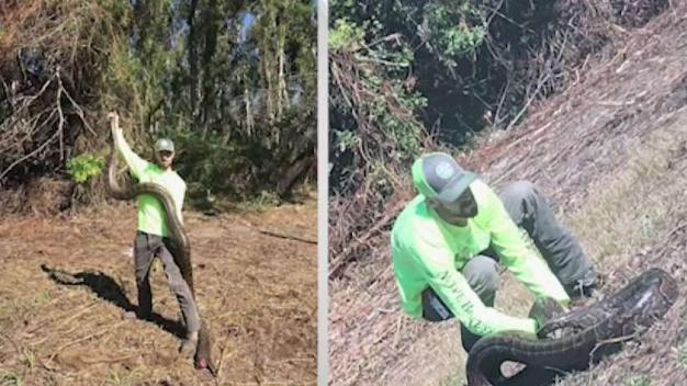 Large Python Found in Kendall Neighborhood