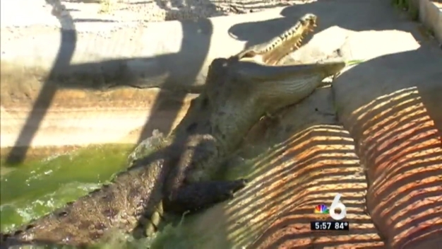 FWC Officers Undergo Intense Alligator Trapping Training