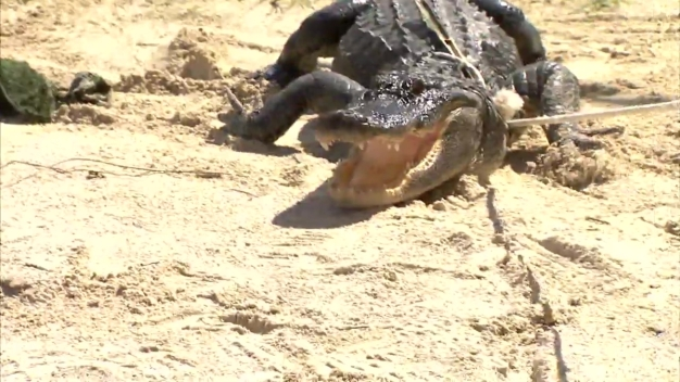 RAW VIDEO: Alligator Trapping Training