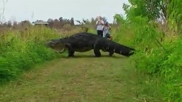 Massive Gator Spotted in Nature Preserve in Lakeland