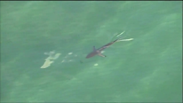 Sharks Swimming Off Broward County Coast