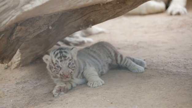 White Tiger Cubs Make Public Debut at Mexico Zoo