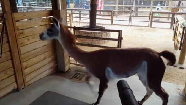 Llama Enjoys Leaf Blower's Breeze at Houston Zoo