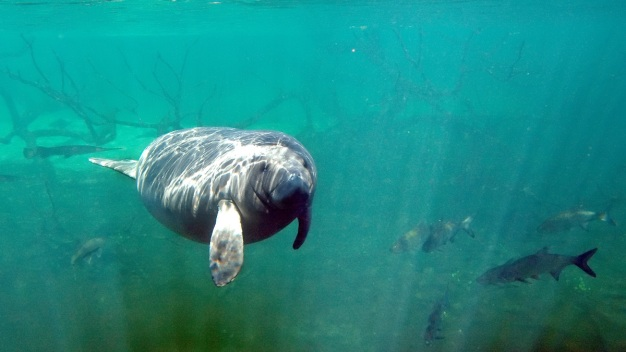 In First 8 Months of Year, Manatee Death Toll Surpasses 2017