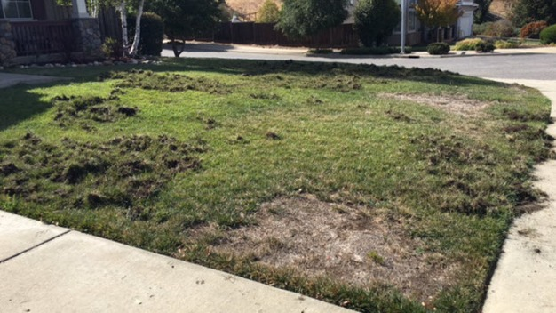 Wild Pigs Chowing Down on Front Yards in San Jose
