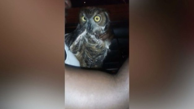 Man Charged Over Captured Owl Video