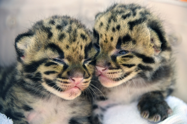 Zoo Miami Welcomes New Clouded Leopards