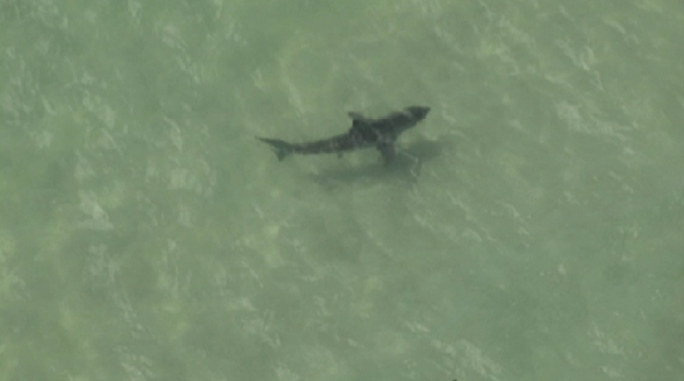 Sharks Spotted Near Swimmers in Manhattan Beach