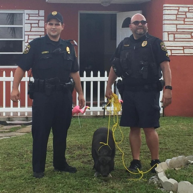 Pig Gets Lost, Miramar Police Steps in and Saves the Day