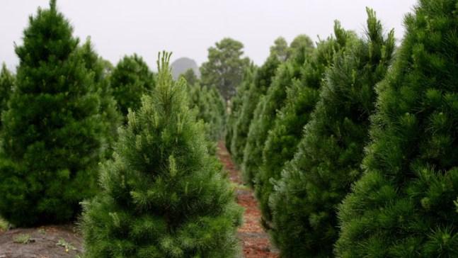 Christmas Tree Farmer Returns Wedding Band Lost 15 Years