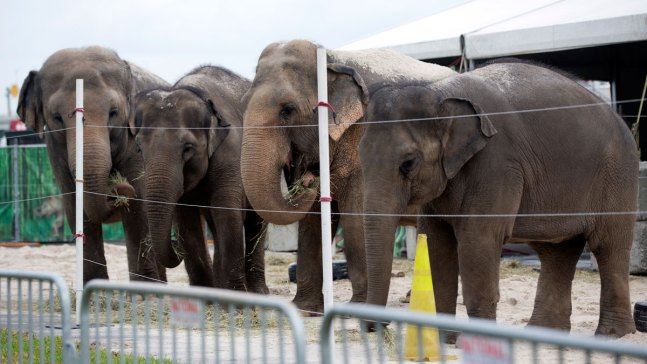 Ringling's Last 11 Touring Elephants Retire to Florida