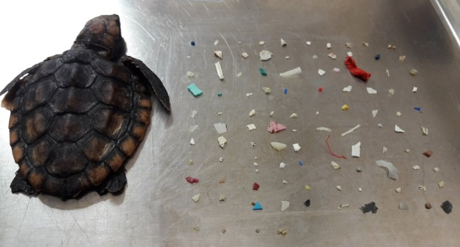 Unbelievable Animal Stories: Baby Turtle Dies After Eating 104 Pieces of Plastic
