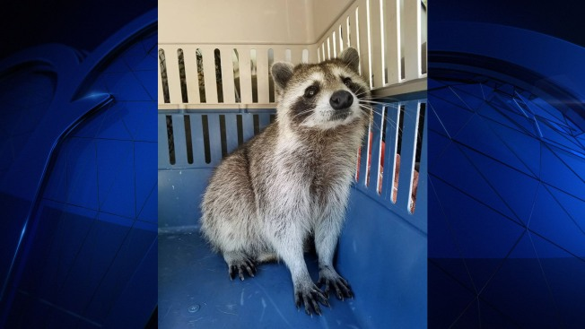 Raccoon gives birth to two in vehicle
