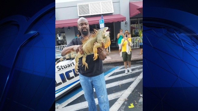 Large Iguana In Stuart Goes Viral