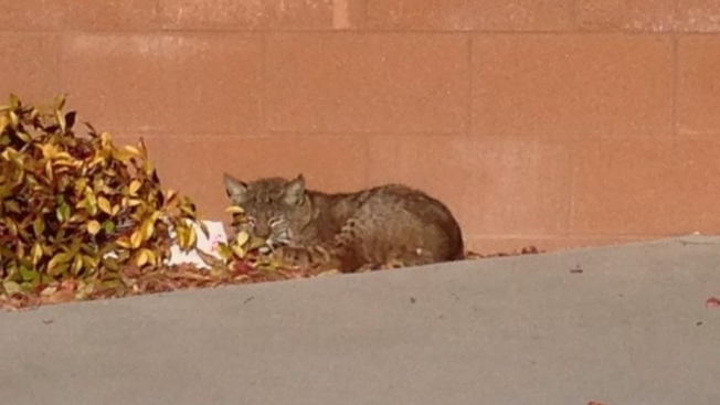 San Diego Teacher Meets Bobcat on Campus