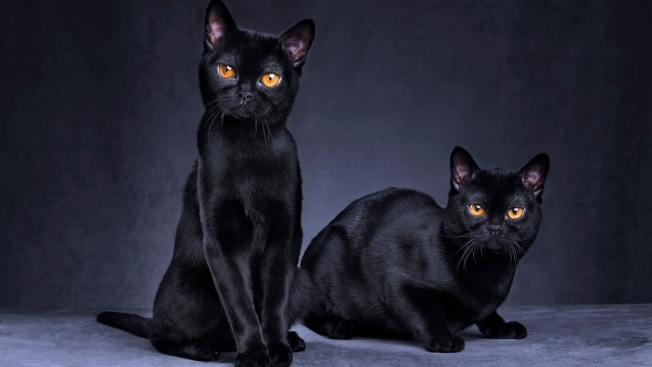Free Friday the 13th Cat Adoptions in Broward
