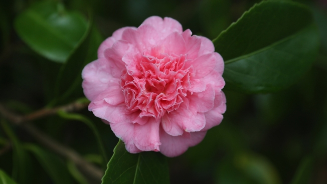 Thousands of Camellias on Display in Florida