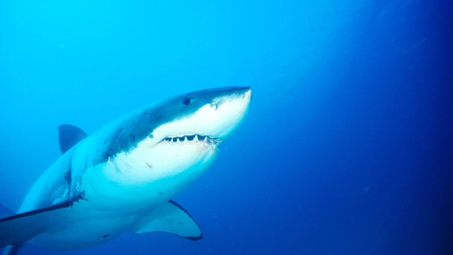 Sensors in Florida Waters Will Help Track Great White Sharks