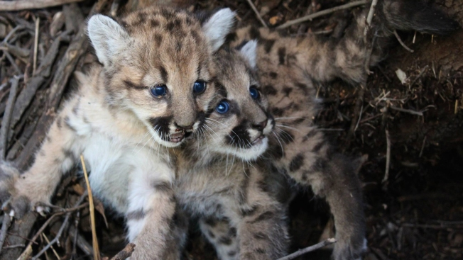 Mountain Lion Kittens Die of Starvation in SoCal