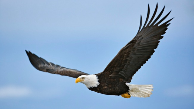 Bald Eagles, Other Birds Found Sick After Eating Poison in Central Florida