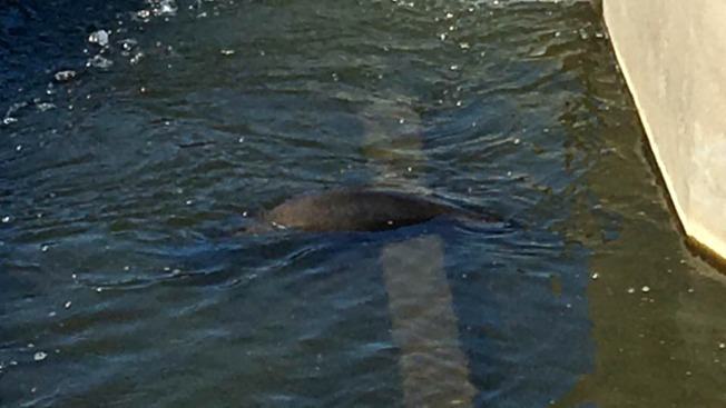 Sea Lion That Swam Up Calif. Farmland Canal Evades Rescue