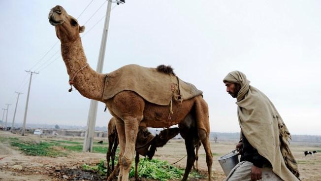 Camels Confirmed as Source of MERS Virus