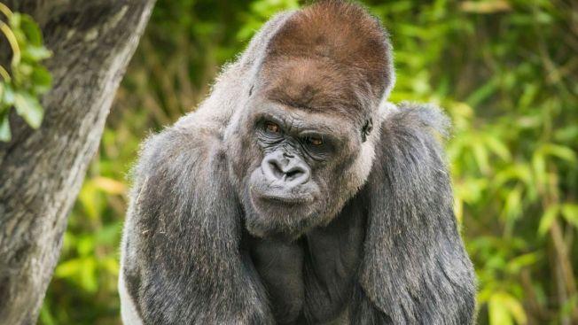 32-Year-Old Gorilla 'Bebac' Dies at Cleveland Zoo