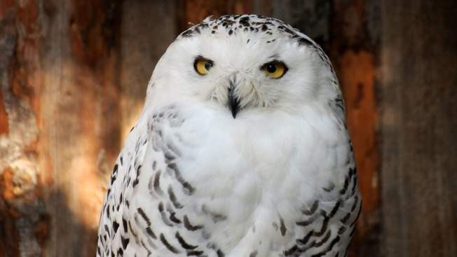 Snowy Owl Invasion of U.S. Extends to Florida
