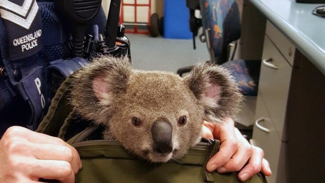 Aussie Police Searching Woman's Bag Find Baby Koala