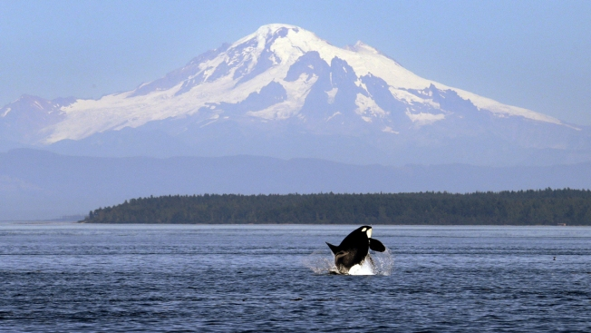 A Baby Orca's Death, a Mother's Grief and a State's Call to Action