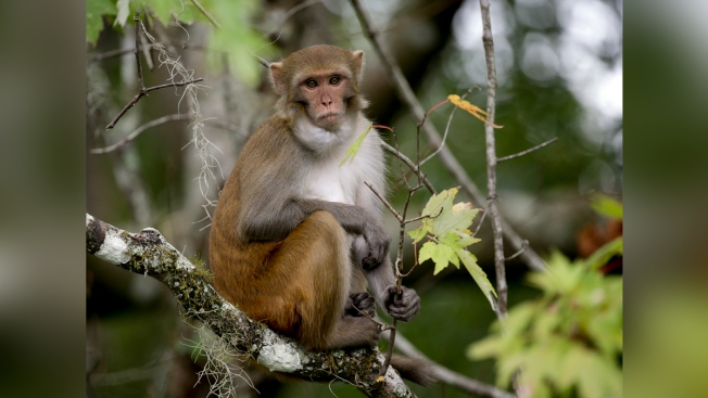 Florida Wants to Remove Herpes-Carrying Wild Monkeys
