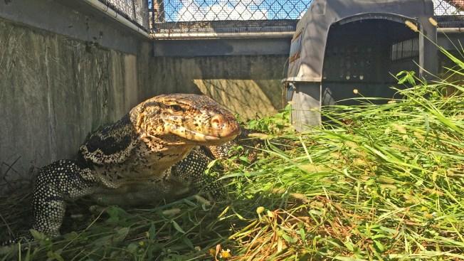 Officers Catch Huge Lizard That Terrified Davie Neighbors