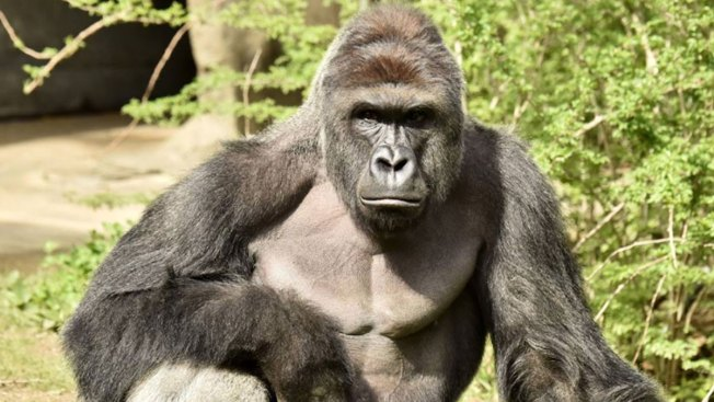 Talk Of Write In Votes For Harambe Numbering Thousands Sweeping The Internet After 2016 Election