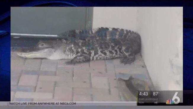 & Gator Found By Front Door of Parkland House: BSO - NBC 6 South Florida