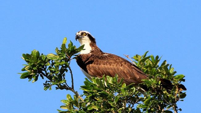 Florida Keys' Ospreys Pulled Off Endangered List