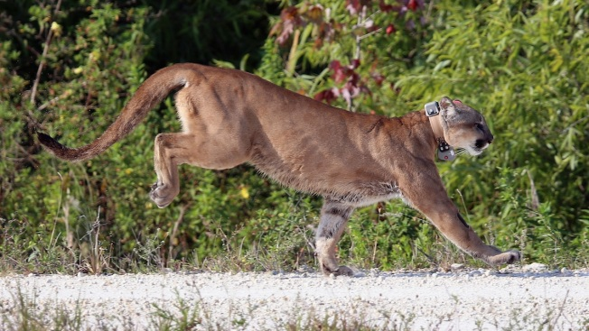 2 Panthers Killed in Southwest Florida