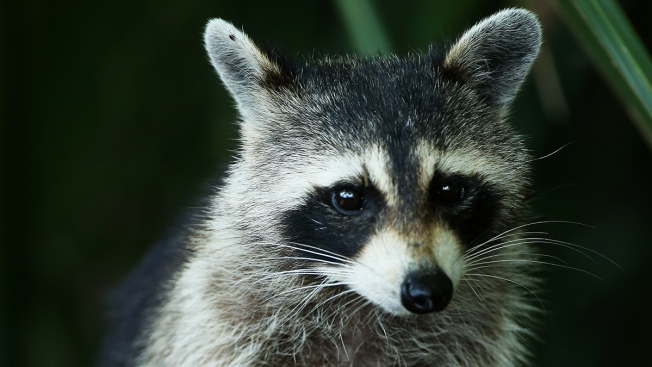 Florida School Investigates Report That Teacher Drowned Raccoons