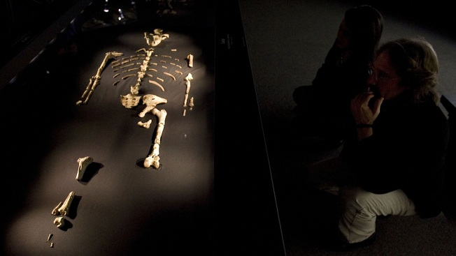 Did Fall From Tree Kill Famous Human Ancestor Lucy?