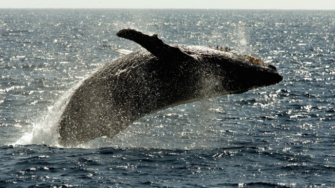 Most Humpback Whales Taken Off Endangered Species List
