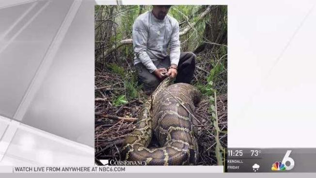 Burmese Python In Florida Eats Deer Bigger Than Snake Itself Nbc 6