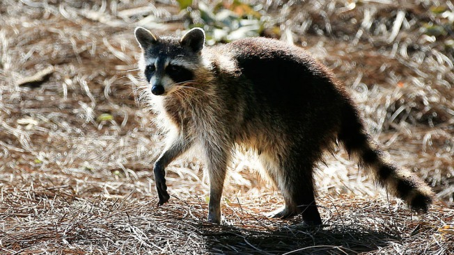 Raccoon Causes Power Outage For Thousands in Central Florida
